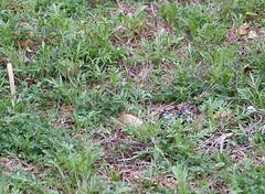 2 Partially Hidden Eggs (Kaptured by Kala) Tags: killdeer shorebird plover charadriusvociferous whiterocklake dallastexas winfreypoint aquaticbird aquatic waterfowl nesting killdeernest nest birdnest protectedbirdnest eggs killdeereggs speckled closeup