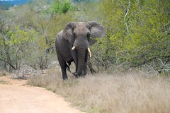 DSC04371 (bremert) Tags: kruger elephant elefant
