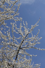 Spring I (Binacat) Tags: canon eos 750d digital color berlin spring sunlight sky blue white bloom tree blossom branches outside