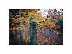Autumn (kotmariusz) Tags: tree autumn forest colours 35mm filmphotography analog nature poland exa1b fujicolor