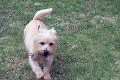 Diggs - 4/19/19 (myvreni) Tags: vermont spring nature outdoors animals dogs cairnterriers pets