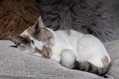 Magui003 (Matias Lynch) Tags: cat cats animal wild wildlife feline domestic buenosaires argentina