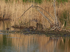 (macg33zr) Tags: organisation rspb fowlmere snipe animal bird