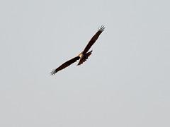(macg33zr) Tags: organisation rspb fowlmere marshharrier animal bird