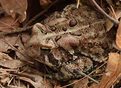 American toad (ophis) Tags: bufonidae anaxyrus anaxyrusamericanus bufo bufoamericanus americantoad camouflage crypsis