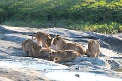 Drinking lion cubs (adupaix) Tags: lion lioness cub cubs kenya africa animal park national leo panthera wild group mammal big reserve drinking nature pan felidae young three small cat animals animalplanet savannah mammifère natur naturephotography bébé