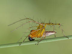 Lynx Spider (Genus Oxyopes) (Graham Winterflood) Tags: spider lynxspider oxyopes canoneos7dmarkii oxyopidae