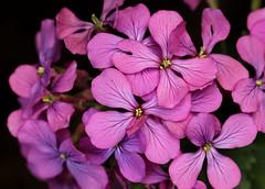 Sweet Honesty,   growing in my garden. (the.haggishunter) Tags: garden plant flower pink petals honesty adage flickrfriday
