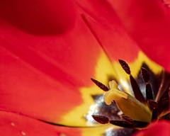 Up close with tulips (dsgetch) Tags: tulip tulips flower spring macro dof depthoffield cascadia pnw pacificnorthwest pnwlife oregon willamettevalley lanecounty eugeneoregon