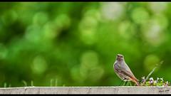 Surveillance 2 (Alexandre LAVIGNE) Tags: hdpentaxdfa150450mm pentaxk1 rougequeuenoir format2391 queuerousse rossignoldesmurailles 2019 muscicapidé briques femelle herbes k1 murs nature oiseau passereau pop printemps vert