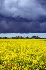 Village sous un nuage (louis.labbez) Tags: 2019 59 france labbez nature nuage paysage sky nord voilier campagne champs ciel colza fleur flower jaune noir hautsdefrance agriculture