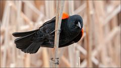 (c)WMH_2019_04_24_0541 Red-winged Blackbird (WesleyHowie) Tags: wildlife redwingedblackbird redbridgepond birds municipalpark location dartmouth canada novascotia