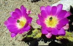 Pink Cactus Flowers (Stan Celestian) Tags: cactus flowers cactusflowers