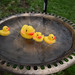 Rubber Duckies At The Duck Pond!