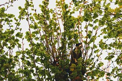 dans l'arbre (alyna16) Tags: cat nature kitten animal trees leaves spring outside branch