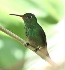 Rufous-tailed Hummingbird (Amazilia tzacatl) 03-08-2019 Arenal Observatory Lodge, Alajuela, CR 8 (Birder20714) Tags: birds costa rica hummingbirds trochilidae amazilia tzacatl