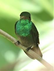 Rufous-tailed Hummingbird (Amazilia tzacatl) 03-08-2019 Arenal Observatory Lodge, Alajuela, CR 9 (Birder20714) Tags: birds costa rica hummingbirds trochilidae amazilia tzacatl