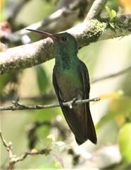 Rufous-tailed Hummingbird (Amazilia tzacatl) 03-08-2019 Arenal Observatory Lodge, Alajuela, CR 14 (Birder20714) Tags: birds costa rica hummingbirds trochilidae amazilia tzacatl
