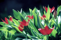 IMGP7505 (PahaKoz) Tags: весна природа флора сад цветение цветы тюльпаны spring nature flora garden blossom bloom blossoming flowers tulips