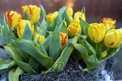 box of Tulips (Ted Bell Photography) Tags: tulips a7iii ilce7m3 sonya7iii