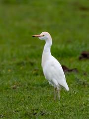 Cattle Egret (wryneck94) Tags: birdwatching somersetlevels somerset