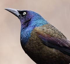Quiscale bronzé\Common Grackle (jlp771) Tags: canon eos 80d sigma bird oiseau quiscale couleur