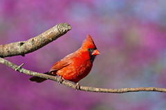 male cardinal on photo branch (G_Anderson) Tags: cardinal missouri spring redbud birding backyard