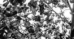 Autumn in B&W (Alvaro.sh) Tags: canon canont5 canon1200d chile calle sigma sigma30 sigma30mm 30mmsigma 30mmf14dc|a 30mm autumn otoño blackandwhite blancoynegro