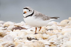 Piping Plover (lablue100) Tags: pipingplover plover beach shells tiny birds nature mating small landscapes colors action