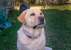 Watching a Bird (lablue100) Tags: labrador labradorretriever dog yelowlab lab pet love heart best animals pets action nature landscapes dogs