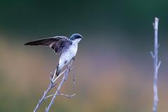 Springtime Swallow (Patricia Ware) Tags: california canon ef400mmf4doisiiusmlens handheld irvine sanjoaquinmarsh tachycinetabicolor treeswallow ©2019patriciawareallrightsreserved unitedstatesofamerica specanimal