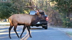 Crossing at the light (Shannon Rose O'Shea) Tags: shannonroseoshea shannonosheawildlifephotography shannonoshea shannon wildbullelk elk bullelk 12point rack antlers road trees truck pickuptruck animal cherokeeindianreservation cherokee northcarolina outdoors outdoor outside colorful colourful wild wildlifephotography wildlifephotographer wildlifephotograph cervuscanadensis flickr wwwflickrcomphotosshannonroseoshea smugmug nature wildlife deerfamily art photo photography photograph camera light canon canoneos80d canon80d canon100400mm14556lisiiusm eos80d eos 80d canon80d100400mmusmii femalephotographer girlphotographer womanphotographer naturephotographer shootlikeagirl shootwithacamera throughherlens thl wildelk pinetrees branches mammal wapiti closeup close