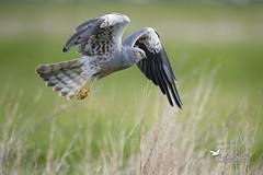 _DSC1146 (JM AVOCETTE) Tags: accipitridae accipitridés accipitriformes animaux aves birds busardcendré circuspygargus montagusharrier oiseaux