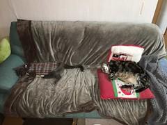 Rivals, but Not When They're Sleeping (sjrankin) Tags: 20april2019 edited animal cat livingroom kitahiroshima hokkaido japan argent tunic tigger nap sleep couch blanket pillows