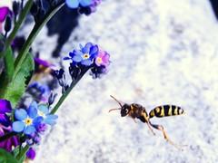 Paper Wasp, Granite Rock, Forget-Me Nots (starmist1) Tags: paperwasp graniterock forgetmenots flower wasp rock flowergarden frontyard april sunny warm garden