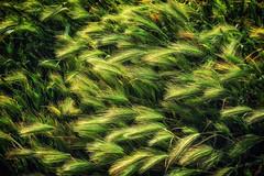 (Abel AP) Tags: grass wildgrass nature outdoor donedwardsnationalwildliferefuge donedwardssanfranciscobaynationalwildliferefuge spring fremont california usa bayarea sanfranciscobayarea northerncalifornia abelalcantarphotography
