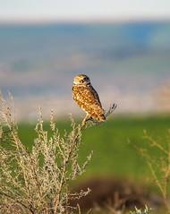 Burrowing owl - Taken near Pasco, WA (Wayne~Chadwick) Tags: