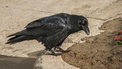 (AAcerbo) Tags: oceanbeach sanfrancisco california beach outdoors raven bird black