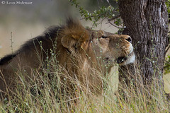 Taking a siesta (leendert3) Tags: leonmolenaar wildlife southafrica krugernationalpark mammals africanlion ngc npc coth5
