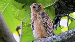 Buffy Fish Owl (Ric Seet.) Tags: sony a9 100400gm buffy fish owl