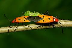 赤星椿象 Dysdercus cingulatus (UG Tsai) Tags: 昆蟲 insect 動物 animal macro 微距