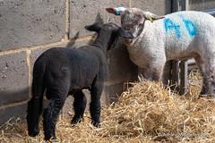 Mead Open Farm (Ashley Middleton Photography) Tags: animal bedfordshire billington england europe mammal meadopenfarm sheep unitedkingdom