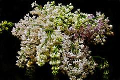 Bouquet of lilics (prokhorov.victor) Tags: цветок цветение цветы растения флора сад природа макро