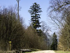 Tanne (seyf\ART) Tags: pancolar1850 thüringen thüringerwald
