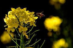 ミツバチと菜の花ーBee and canola (kurumaebi) Tags: yamaguchi 秋穂 nikon d750 nature 山口市 landscape 菜の花 canola bee ハチマクロ macro spring 春