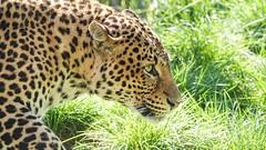Jaguar - 6729 (ΨᗩSᗰIᘉᗴ HᗴᘉS +62 000 000 thx) Tags: jaguar fauve animal pairidaiza belgium europa aaa namuroise look photo friends be yasminehens interest eu fr party greatphotographers lanamuroise flickering sonydscrx10m4
