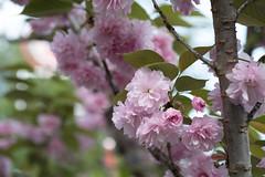 _1011197.jpg (plasticskin2001) Tags: flower sakura micronikkor f28s ai 55mm