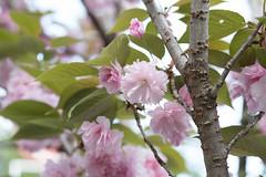 _1011198.jpg (plasticskin2001) Tags: flower sakura micronikkor f28s ai 55mm