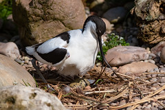 Avocet on eggs (Mister Oy) Tags: nikon300mmf4afs nikond850 wwt birds martinmere nature avocet nest eggs