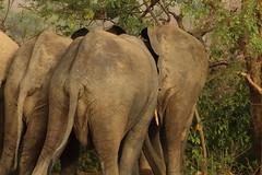 Savanna elephants, Mole Motel, Mole National Park, Ghana (inyathi) Tags: africa westafrica ghana africananimals africanwildlife africanelephants savannaelephants loxodontaafricana molenationalpark molemotel nationalpark nationalparks